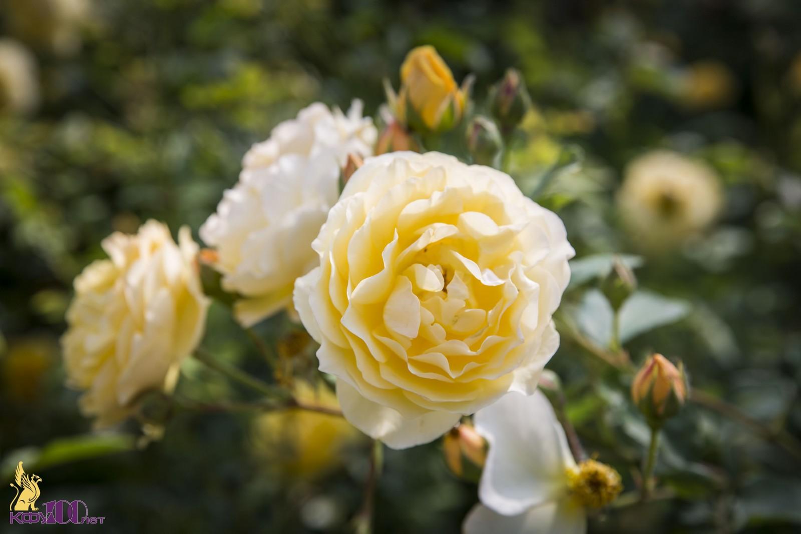крымское солнышко роза фото фото нижнем